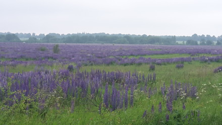 lavender field just outside kaliningrad