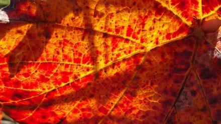 Grape leaves & sun