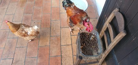 I learnt something today: Chicken like dog food
